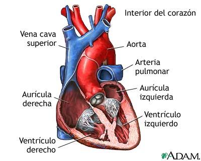 MedlinePlus Enciclopedia Médica: Corte transversal de la anatomía ...