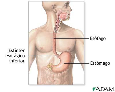 MedlinePlus Enciclopedia Médica: Sistema gastrointestinal superior